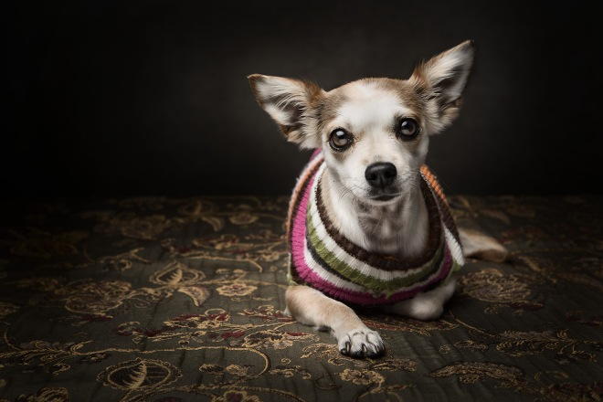 Portrait of Chihuahua dog.